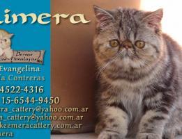 Kimera Cattery
