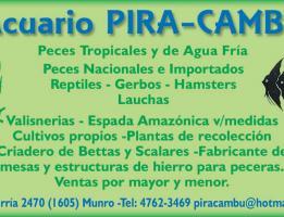 Pira-Cambu