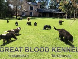 Great Bloond Newfoundlands
